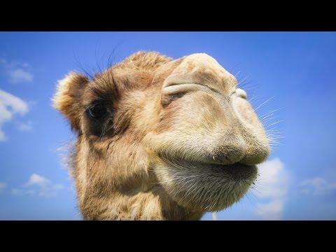 ラティフ・ナサー: あなたの知らない、ラクダの本当の故郷