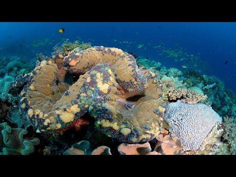 メイ・リン・ネオ: オオジャコガイの知られざる魅惑的生態